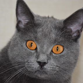 The soul of Joconde through her eyes  by Isabelle Ebens - Uncategorized All Uncategorized ( cat, chartreux, amber, eyes,  )