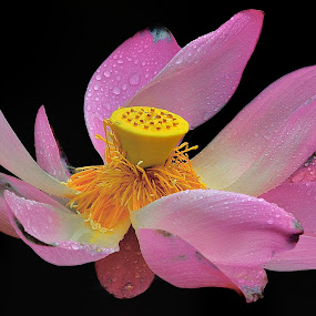 Pink lotus after rain by Francois Wolfaardt - Flowers Single Flower ( contrast, macro, lotus, nature, lily, raindrops, pink, yellow, flower, colours )