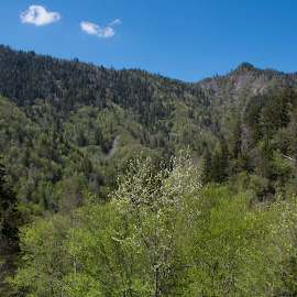 Smoky Mountains by Thomas Shaw - Landscapes Mountains & Hills ( clouds, green, white, the great smoky mountains, forest, landscape, woods, photography, national park, national forest, mountains, sky, blue, trees, landscape photography, pine trees, pine, smoky mountains )