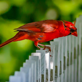 by Allen Wesley - Animals Birds ( animals, cardinal, red bird, nature, birds )