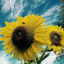 Sunflowers  by Ro Salvatore-Edelman - Flowers Flower Gardens