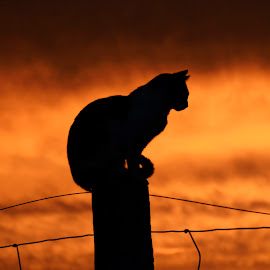 Limey and the Sunset by Walter Skof - Animals - Cats Portraits ( cat, colorful, sunset, silhoutte, portrait )