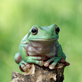 Lonely by Kurito Afsheen - Animals Amphibians ( canon, animals, macro, frog, tree frog, amphibian )