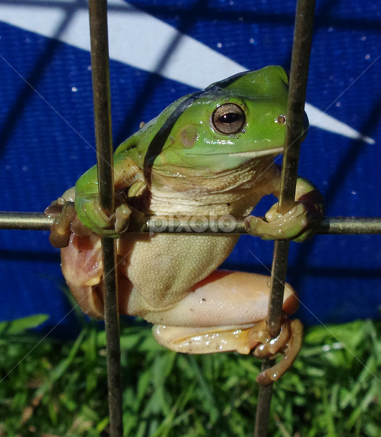 Let Me Out!!   :) by Kris Pate - Animals Amphibians ( Backyard, insects, reptiles, living creatures, green, colors, daily life,  )