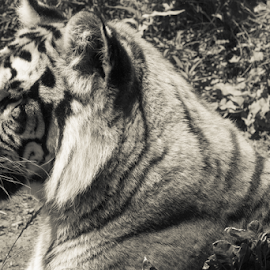 Bangor Tiger by Julie Wooden - Animals Lions, Tigers & Big Cats ( big cat, partly cloudy, north dakota, b&w, tiger, black and white, wildlife, cream tone, dakota zoo, zoo, nature, bismarck, outdoors, bangor tiger, summer, animal,  )