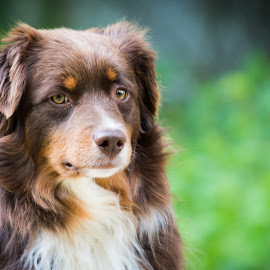 Ginger by Crazy  Photos - Animals - Dogs Portraits ( australian sheperd, herding dog, nature, grass, pet, green, brown, dog, outside, aussie )