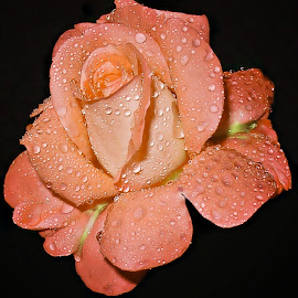 Orange rose for my Princess... by Милан Јакшић - Flowers Single Flower ( love, orange, tears, nature, princess, garden, hope, god, roses, colors,  )