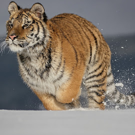 Run in snow by Jiri Cetkovsky - Animals Lions, Tigers & Big Cats ( winter, tiger, snow, ussurian, run )