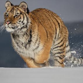Run in snow by Jiri Cetkovsky - Animals Lions, Tigers & Big Cats ( winter, tiger, snow, ussurian, run )