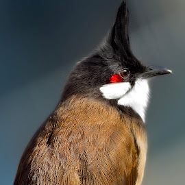 A Red-whiskered bulbul basking in the winter sun by Francois Wolfaardt - Animals Birds ( bird, nature, feathers )