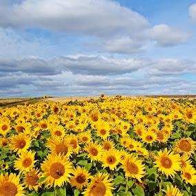 Sunflowers by Craig Skinner - Uncategorized All Uncategorized ( fife, scotland, sunflowers, harvest, elie, september )