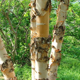 Birch trees by Christina McGeorge - Novices Only Flowers & Plants