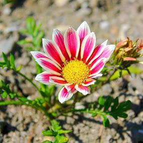 Vibrant Pink Flower by Julie Quesnel - Nature Up Close Flowers - 2011-2013 ( nature, pink, vibrant, yellow, close up, flower )