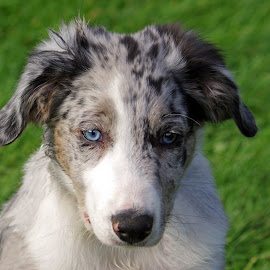 Australian Shepherd Puppy by Ingrid Anderson-Riley - Animals - Dogs Puppies (  )