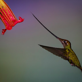 Sword-billed Hummingbird by Mike Trahan - Animals Birds ( bird, flying, flight, ecuador, nature, hummingbird, sword-billed hummingbird )