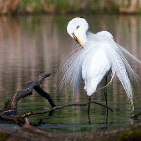 Great Egret in Nuptial Plumage by Rachel Bilodeau - Animals Birds ( great egret nuptial grande aigrette )