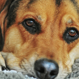 Eyes by Herb Drummond - Animals - Dogs Portraits ( retriever, pet, hound, relaxation, beagle, portrait, eyes )