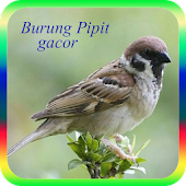 Burung Pipit Gacor APK for Bluestacks