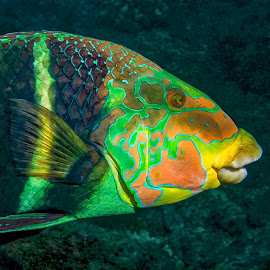 Barred Thicklip Wrasse by Peter Schoeman - Animals Fish ( fauna, bright, fish, barred, hemigymnus, perciformes, labridae, colourful, curious, nature, marine life, indo-pacific, wild, five-banded wrasse, subtropical, portrait, holiday, thicklip, scuba, natural, diving, coral, hemigymnus fasciatus, banded, underwater, vivid, tropical, one, fasciatus, wildlife, ocean, five-banded, exotic, pretty, marine fish, life, swim, animal, marine, water, reef, dive, sea, actinopterygii, paradise, waters, red, barred thicklip, wrasse, world )