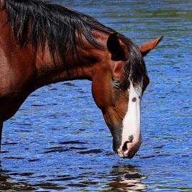 Blue Eyed Mare  by Deb Bulger - Animals Horses ( wild horse, animals, nature, horses, wildlife, blue eyes, saltriverwildhorses )