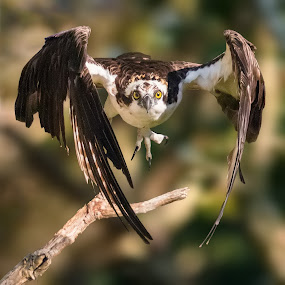 Osprey Launching by Carl Albro - Animals Birds ( flying, branch, take off, hawks and eagles, osprey )
