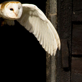 Barn Owl by Andrew Moore - Animals Birds