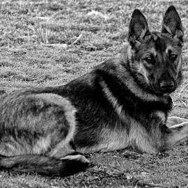 Mesa - The Malinois - 4156 - BW by Twin Wranglers Baker - Animals - Dogs Portraits ( belgian malinois, dog portrait, puppy, dog, malinois )