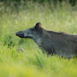 Wild boar (Sus scrofa) by Kalle Pihelgas - Animals Other Mammals ( estonia, wild, sus, hog, boar, summer, grey, scrofa, hair, black, pig )