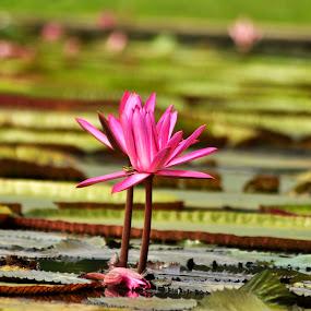 Nymphea rubra  / Terarai  by Ian Bismarkia - Nature Up Close Gardens & Produce (  )