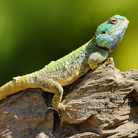 Lézard multicolor by Gérard CHATENET - Animals Reptiles