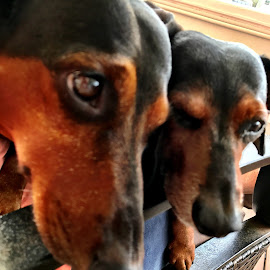 Mikey and Frankie by Ann Goldman - Animals - Dogs Portraits ( dachshunds, dogs )