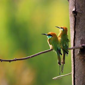 Lovely Green Bee-Eater couple... by BhanuKiran BK - Animals Birds ( bird, cozy, green bee-eater, green, couple, bee-eater )