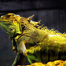 Iguana cool by Amanda Daly - Novices Only Wildlife