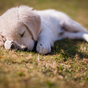 Dudley Takes A Nap by Mike Woodford - Animals - Dogs Puppies ( fluffy, nap, relax, tired, fur, puppy, sleep, dog, cute, young, snooze,  )
