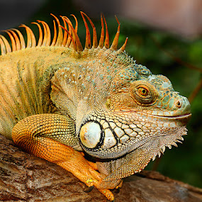 Smile by Gérard CHATENET - Animals Reptiles