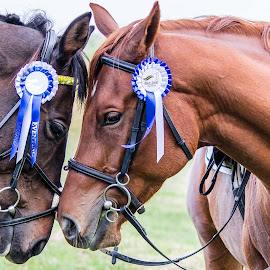 Show jumping 4 by Tommy Glad - Animals Horses ( winning, horses, kate roberts, horse riding, showjumping )