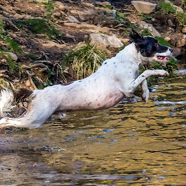 Springer Spaniel Flying  by Vicki Roebuck - Animals - Dogs Playing ( water, flying, stick, springer spaniel, dog, jump )