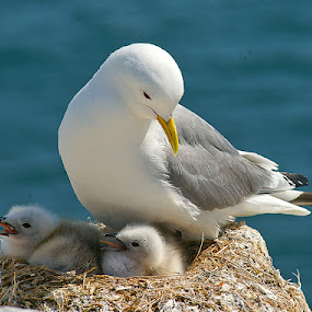 Kittiwake on cliff top by Bob Rawlinson - Animals Birds