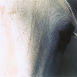 Shades of Gray by Betsy Calder - Animals Horses ( mystery, horse, peace, beauty, closeup, soulfulness, gray mare, animal )