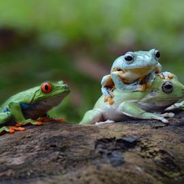 by Sigit Purnomo - Animals Amphibians