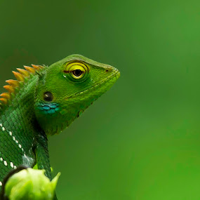 Green forest lizard by Vasanth Photographer - Animals Reptiles ( close up, minimalism, green, nature, lizard,  )