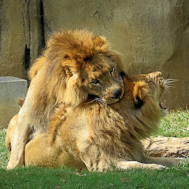 by Mike Dinkens - Animals Lions, Tigers & Big Cats