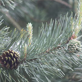 by Amanda Nolan - Nature Up Close Trees & Bushes ( #pine, #tree, #nature, #christmassy, #cone )