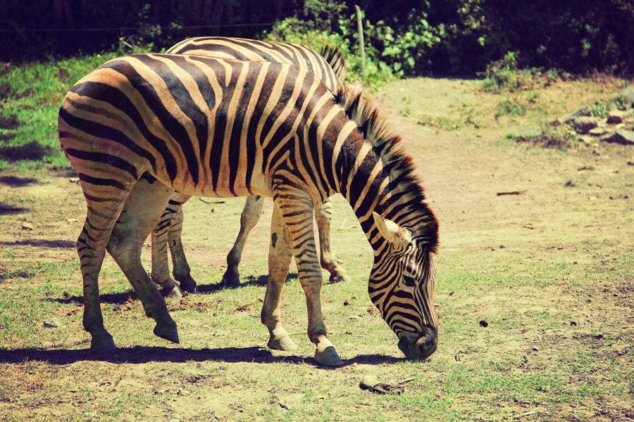 Zebra by Joseph Basukarno - Animals Horses ( animals, horses, zebra )