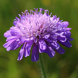 Scabiosa by Chrissie Barrow - Flowers Flowers in the Wild ( stigma, wild, mauve, single, purple, stamens, petals, green, bokeh, scabious, scabiosa, closeup, flower )