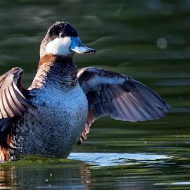 Handsome Rudy by Raphael RaCcoon - Animals Birds ( bird, duck )