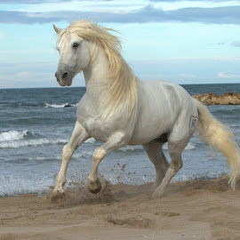 Playing on the beach by Helen Matten - Animals Horses ( galloping, stallion, sand, white, beach )