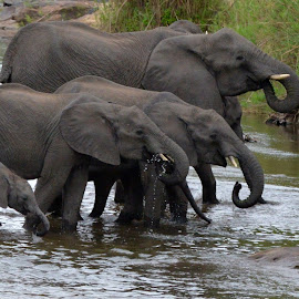 Drink up! by Sean de la Harpe-Parker - Animals Other Mammals ( elephant, south africa, drink, wildlife, kruger, river )