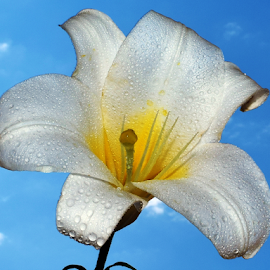 white lily by LADOCKi Elvira - Flowers Single Flower ( nature, flowers, garden )