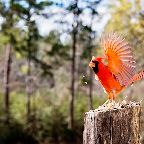Lord of the Dance  by Sabrina Causey - Animals Birds ( bird, red, red bird, nature, feathers, animal,  )